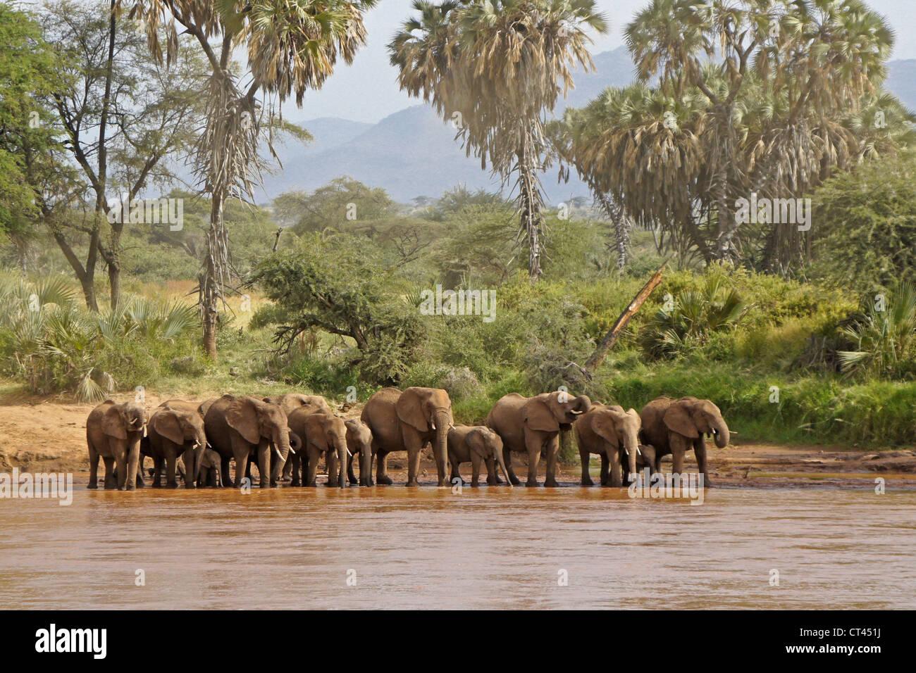 Herd of elephants drinking at Ewaso (Uaso) Nyiro river, Samburu, Kenya - Stock Image