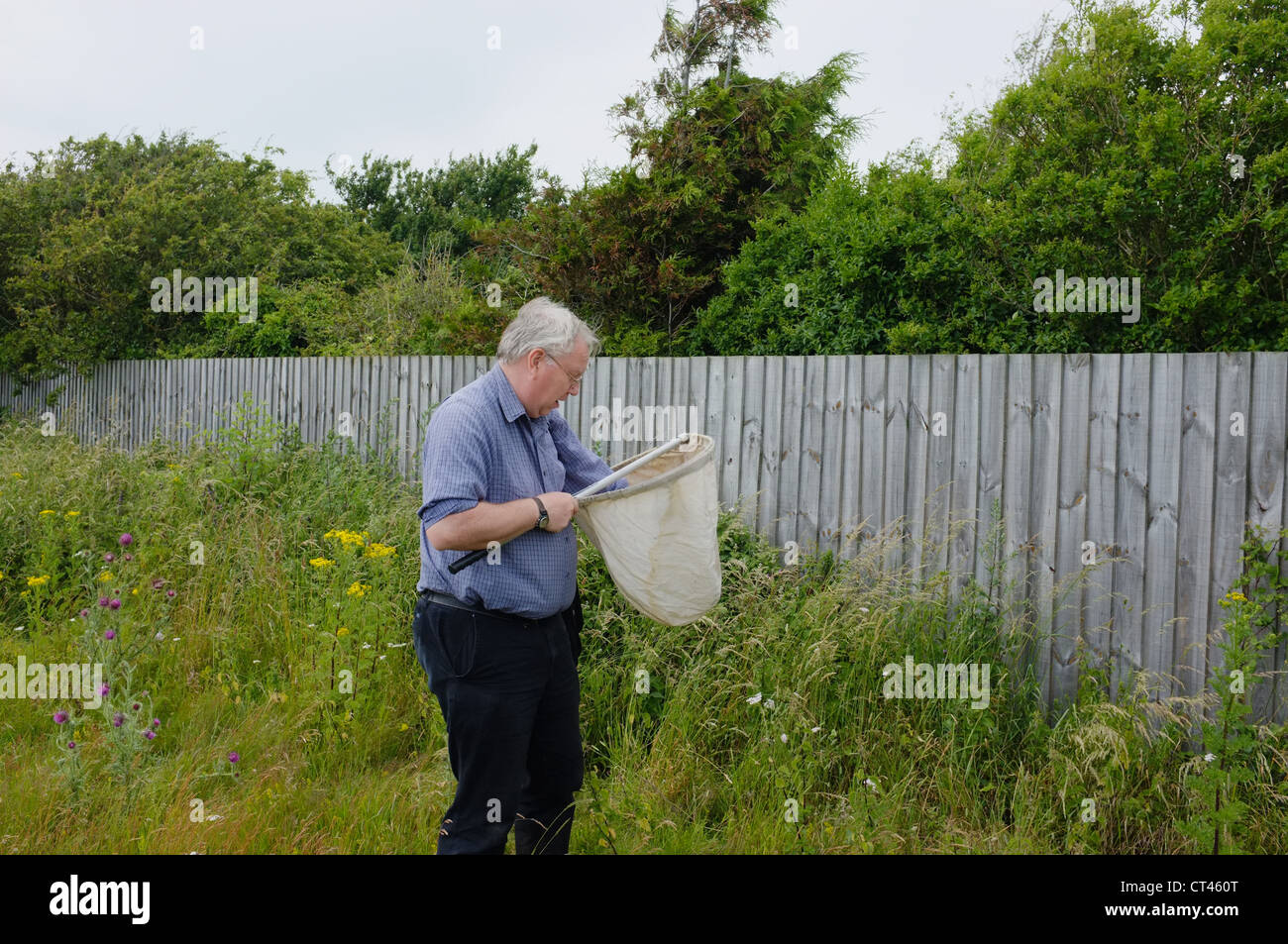 The county moth recorder for Suffolk looking for a Nemophora fasciella moth in Shingle Street, Suffolk UK - Stock Image