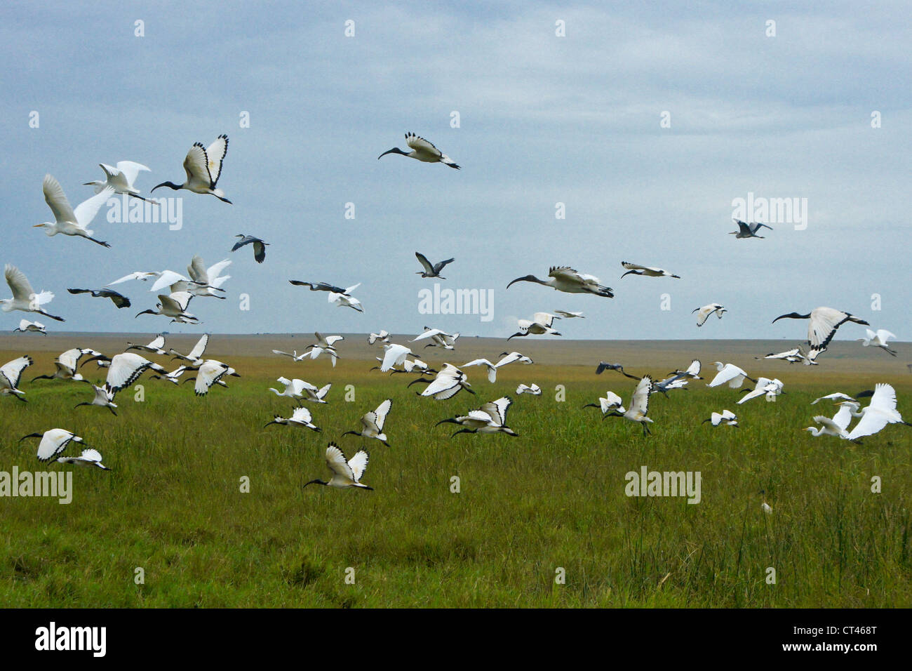 Birds flying over Musiara Marsh, Masai Mara, Kenya - Stock Image
