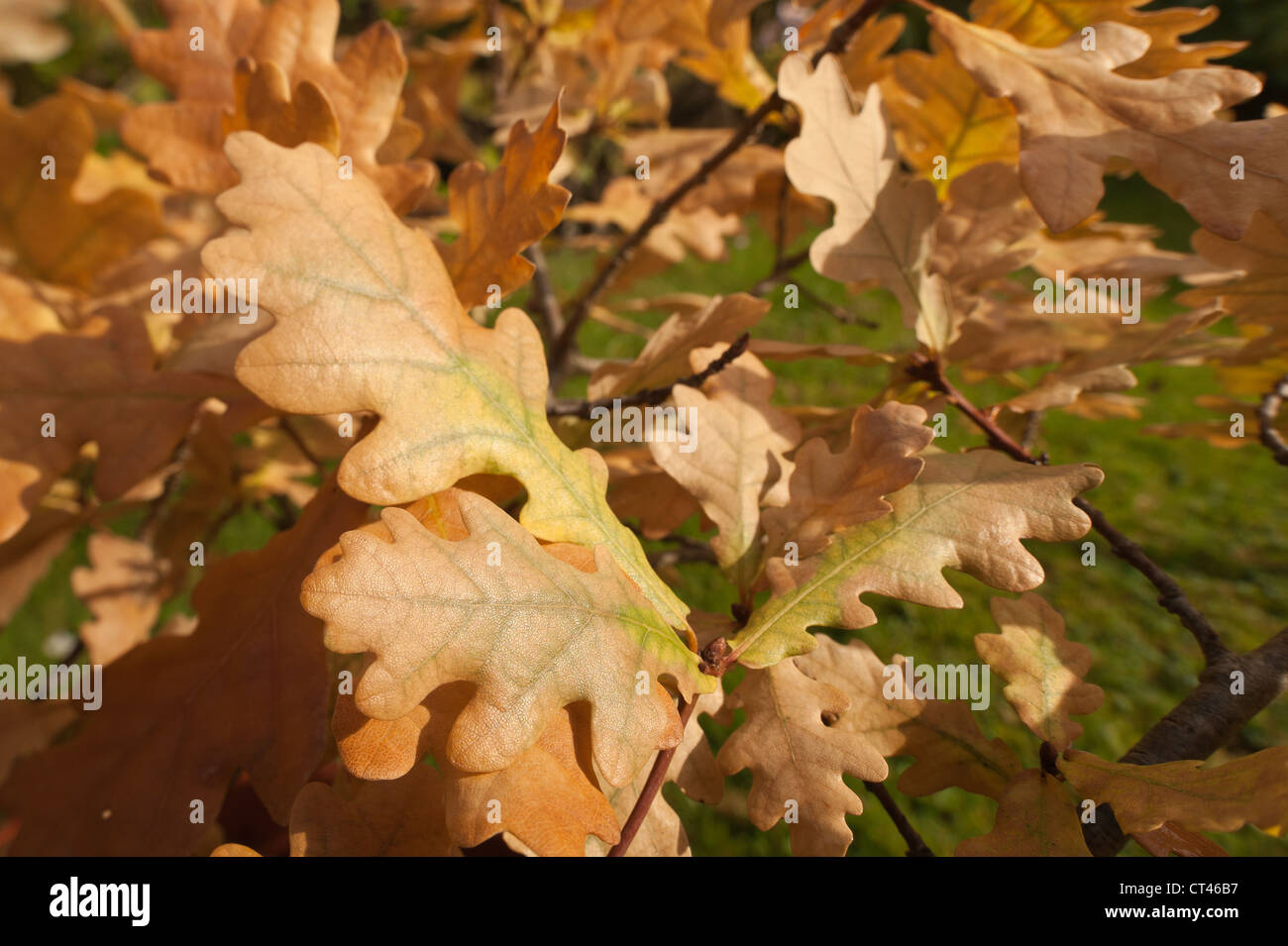 Dying common oak tree foliage due to drought and poor water supply