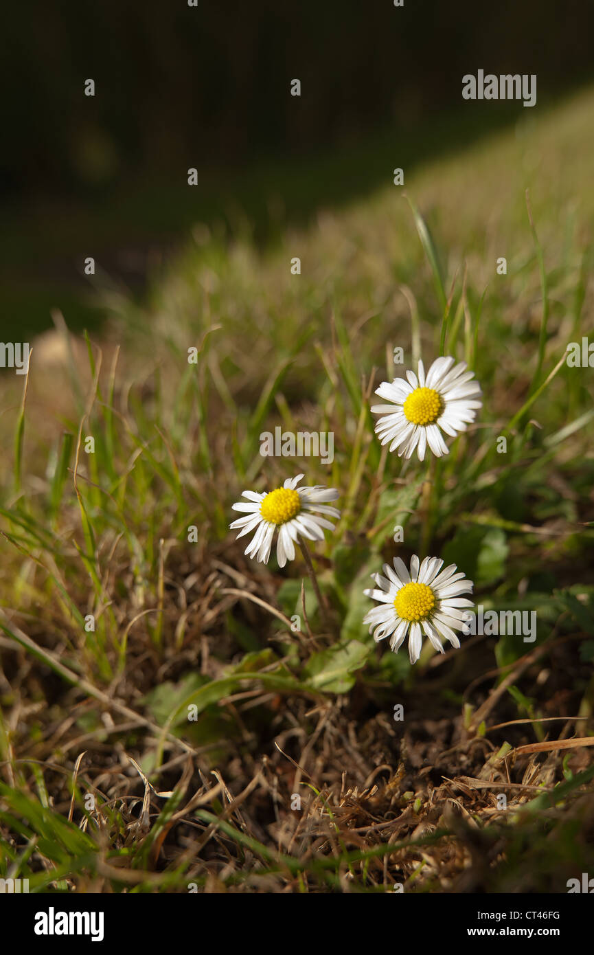 White clover lawn weed stock photos white clover lawn weed stock the common white daisy bellis perennis gardeners worst enemy a small bunch groiup seen mightylinksfo