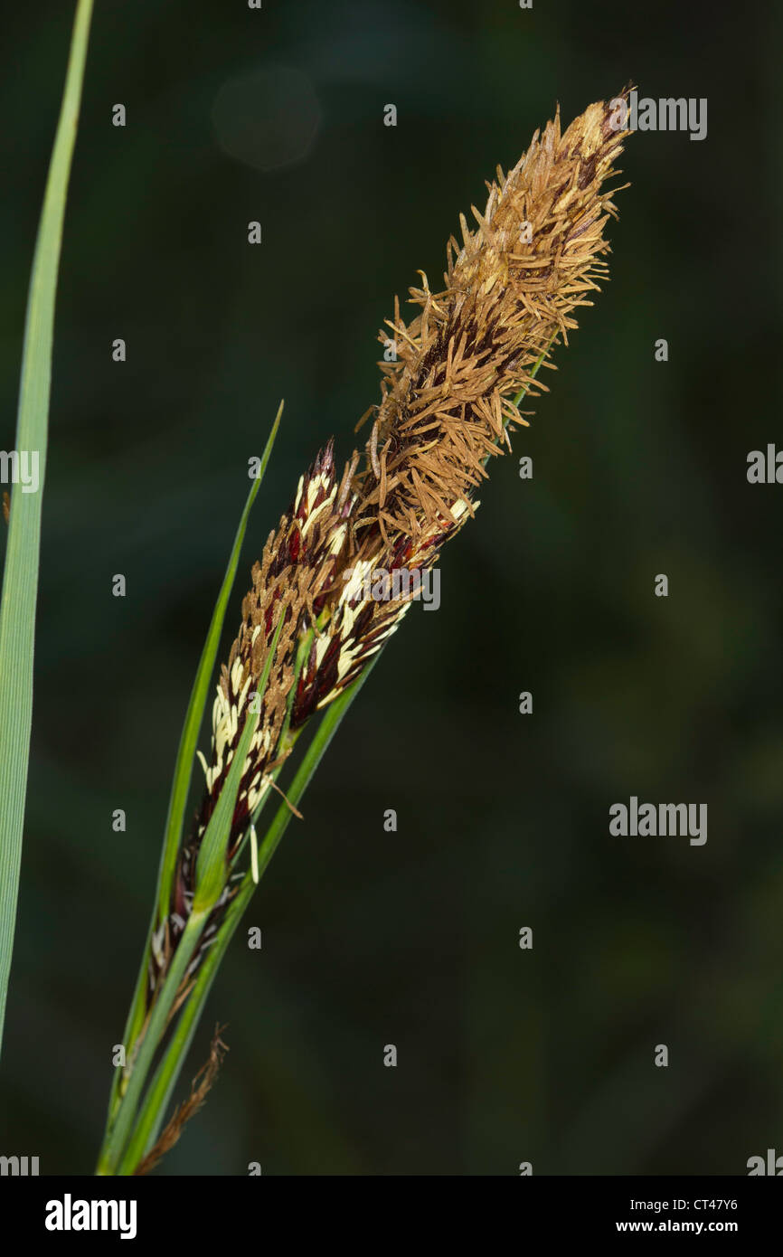 Greater Pond-sedge (Carex riparia) flower - Stock Image