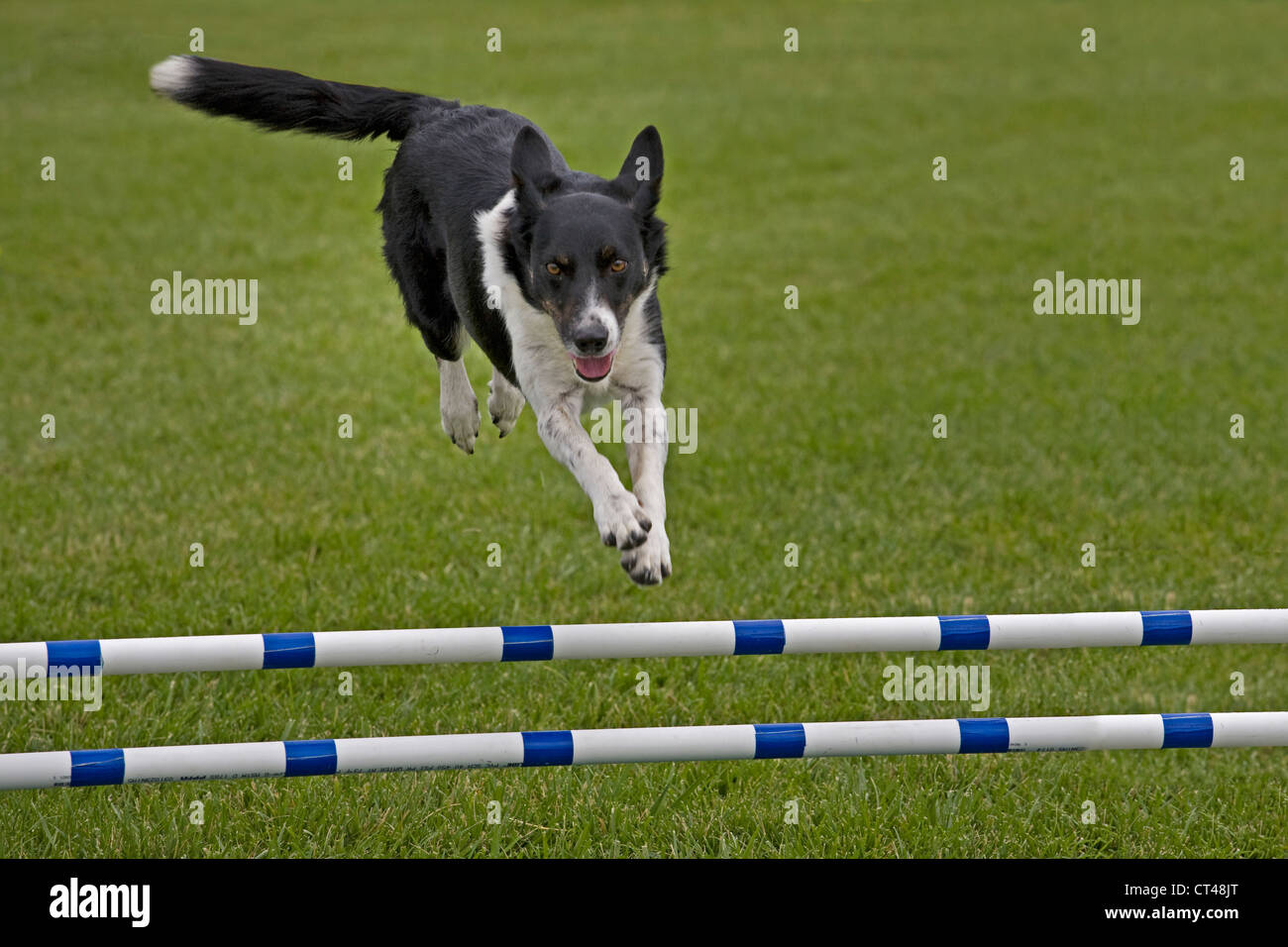 A herding dog going over a jump during the Agility event an AKC dog show - Stock Image