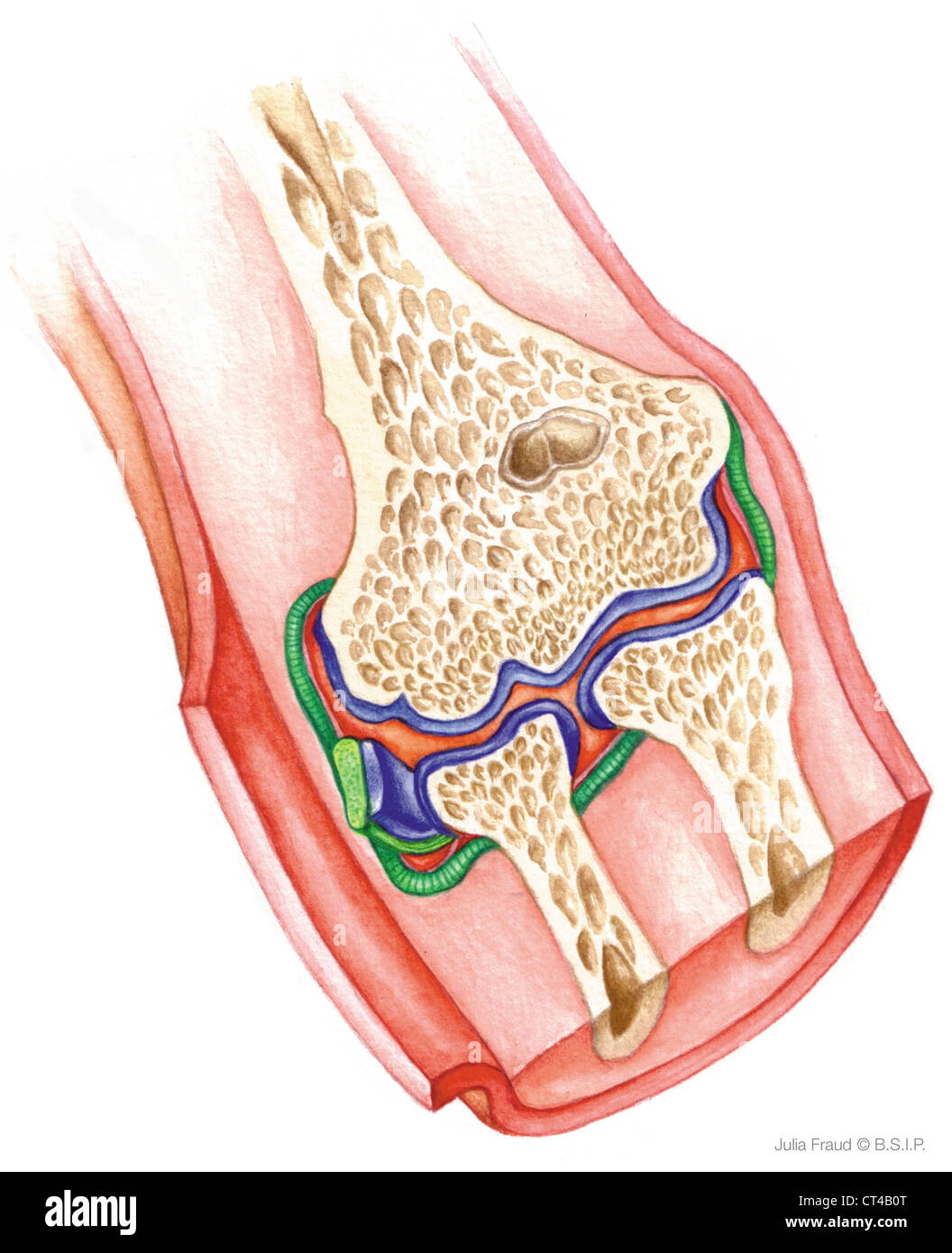 Annular Ligament Of Radius Stock Photos Annular Ligament Of Radius
