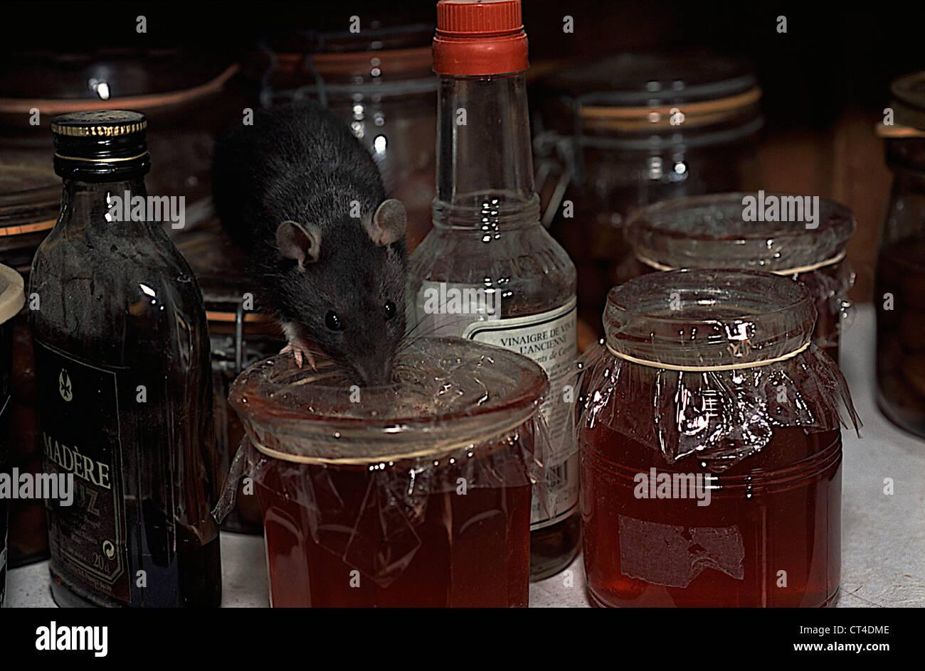 BROWN RAT - Stock Image