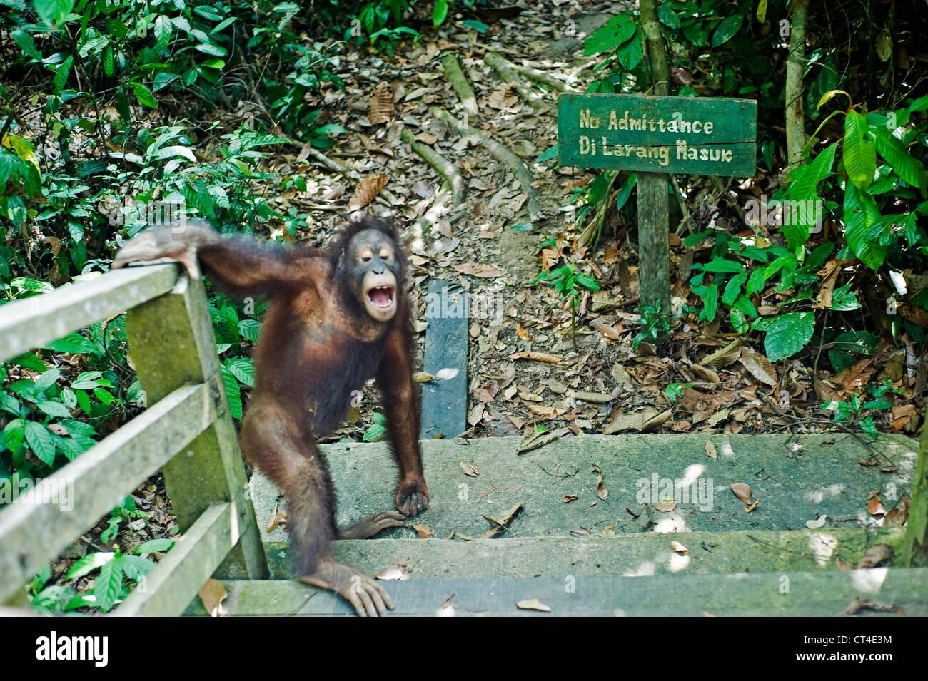 Malaysia, Borneo, Sepilok, Orangutan going through no trespasser sign - Stock Image