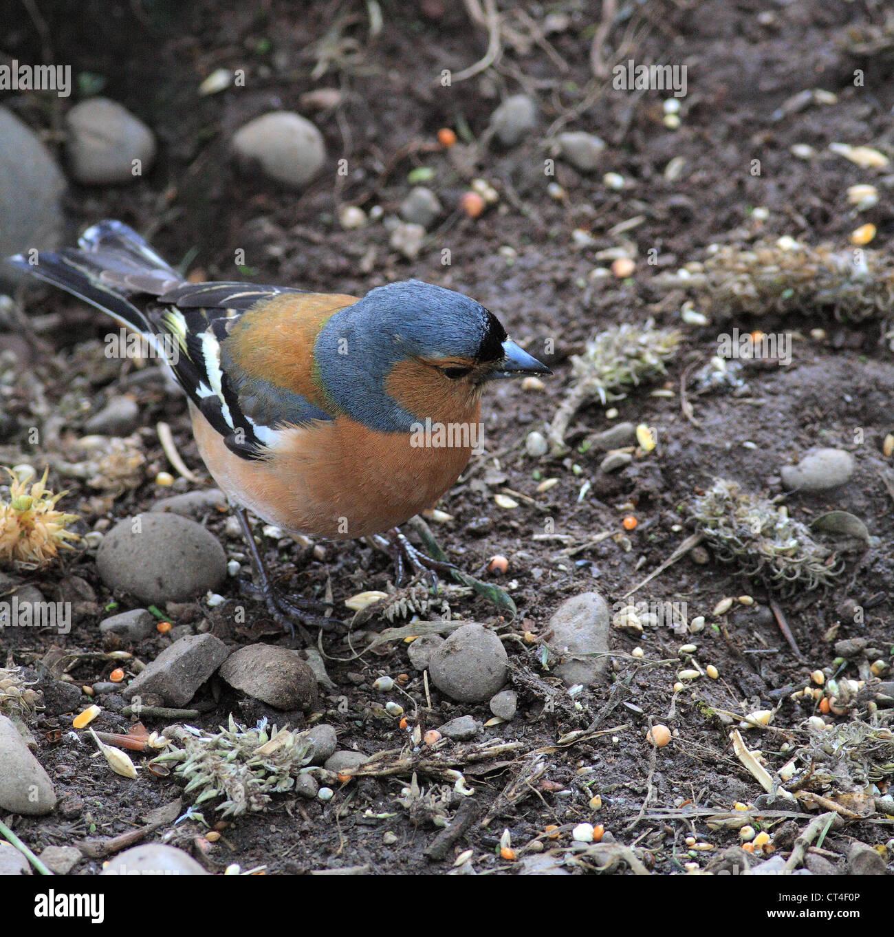 Male Chaffinch ( Fringilla coelebs ) in summer plummage feeding on the ground, UK - Stock Image
