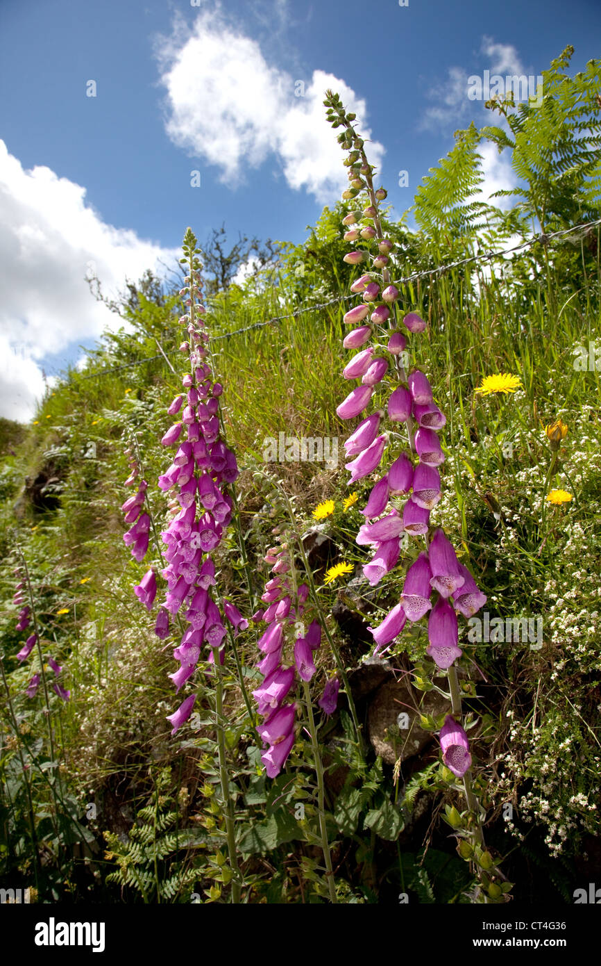 Wild foxgloves growing out of a dry stone wall field boundary on Dartmoor, Devon , UK. Stock Photo