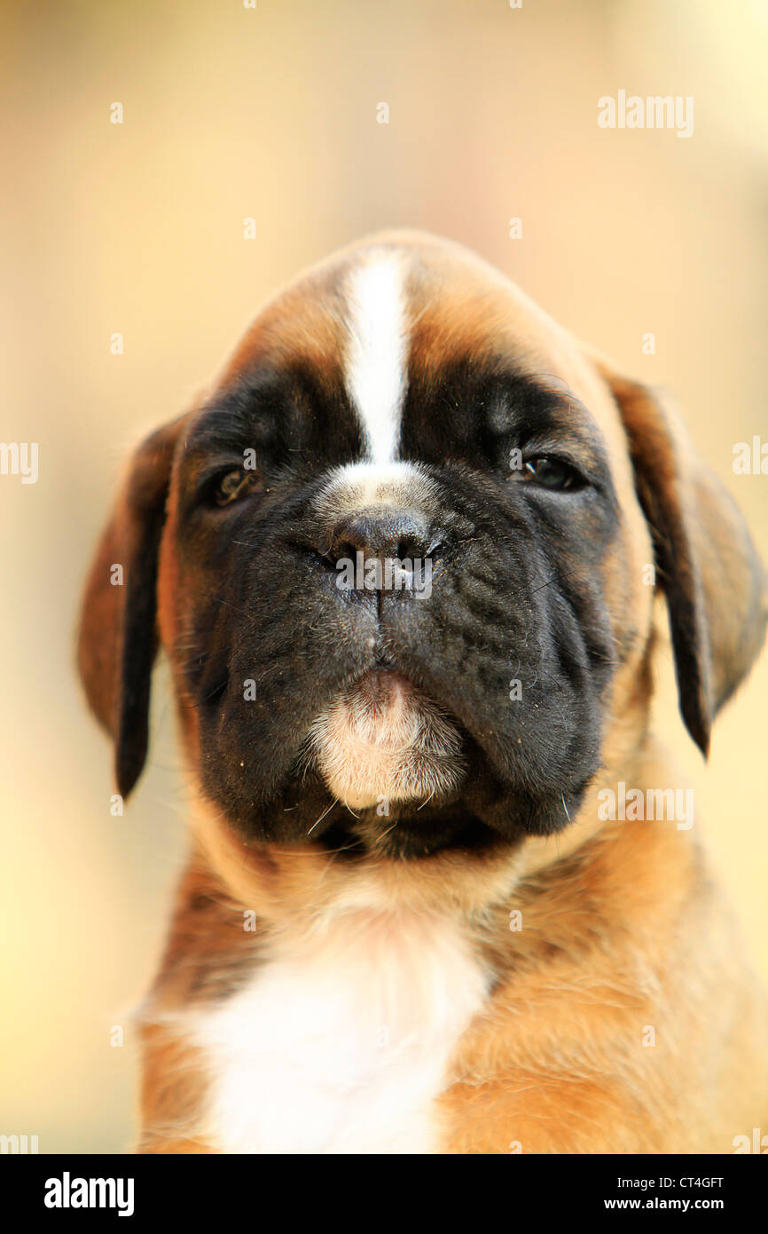 A boxer dog puppy, portrait - Stock Image