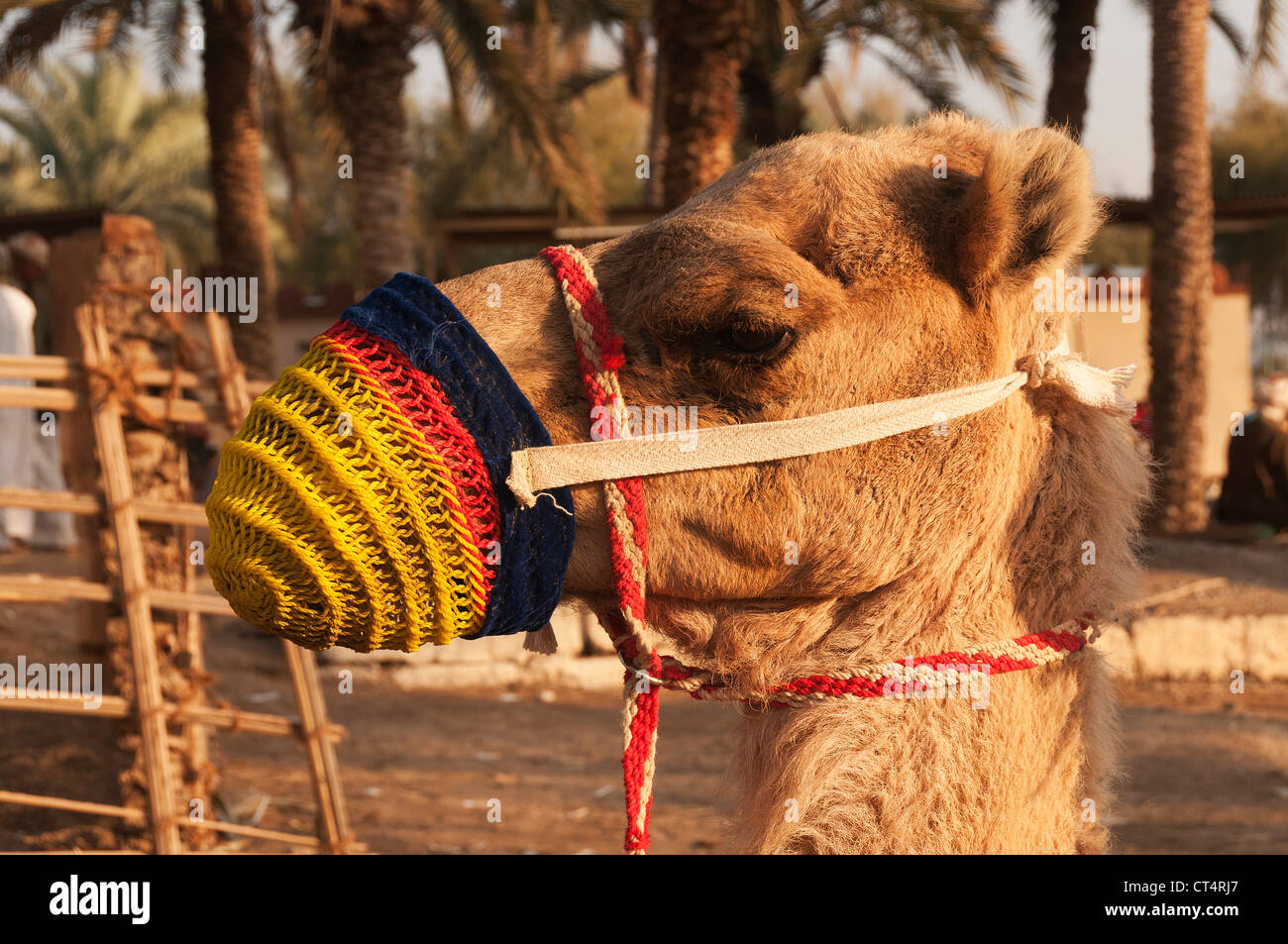 Elk207-1389 Oman, Muscat, Muscat Festival, camel - Stock Image
