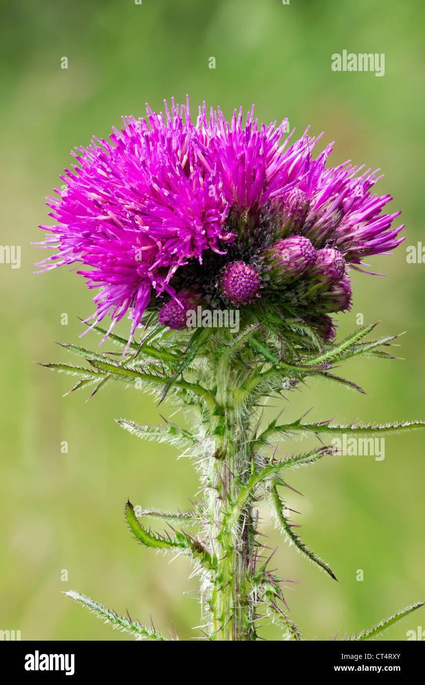 Cirsium palustre Marsh Thistle Asteraceae - Stock Image