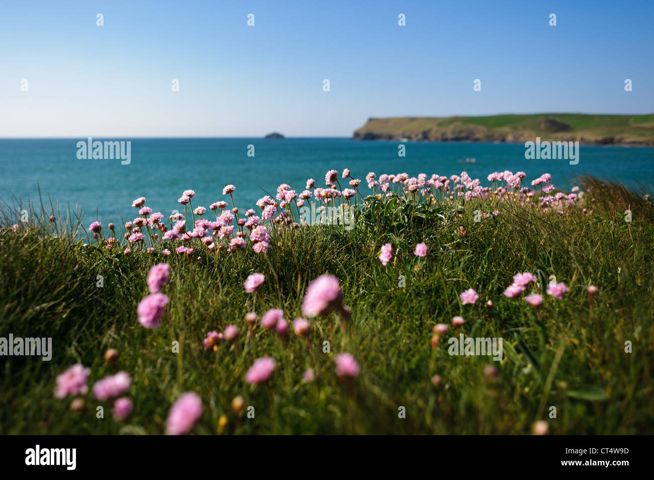 Pink flowers on the coastal path at polzeath bay on a sunny summers pink flowers on the coastal path at polzeath bay on a sunny summers day in cornwall mightylinksfo Images