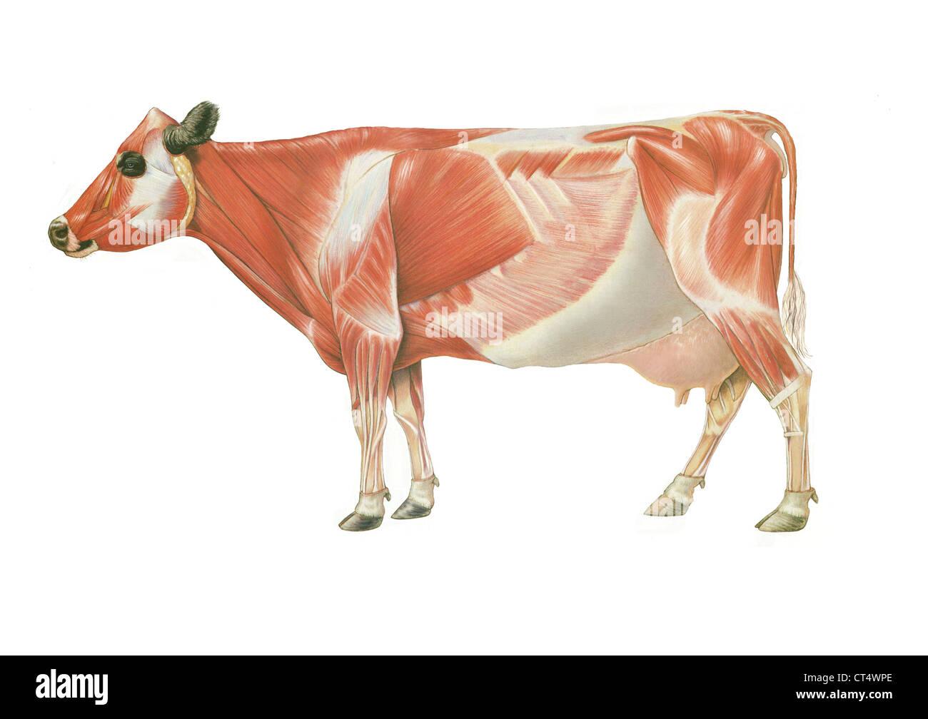 COW ANATOMY, DRAWING Stock Photo: 49280518 - Alamy