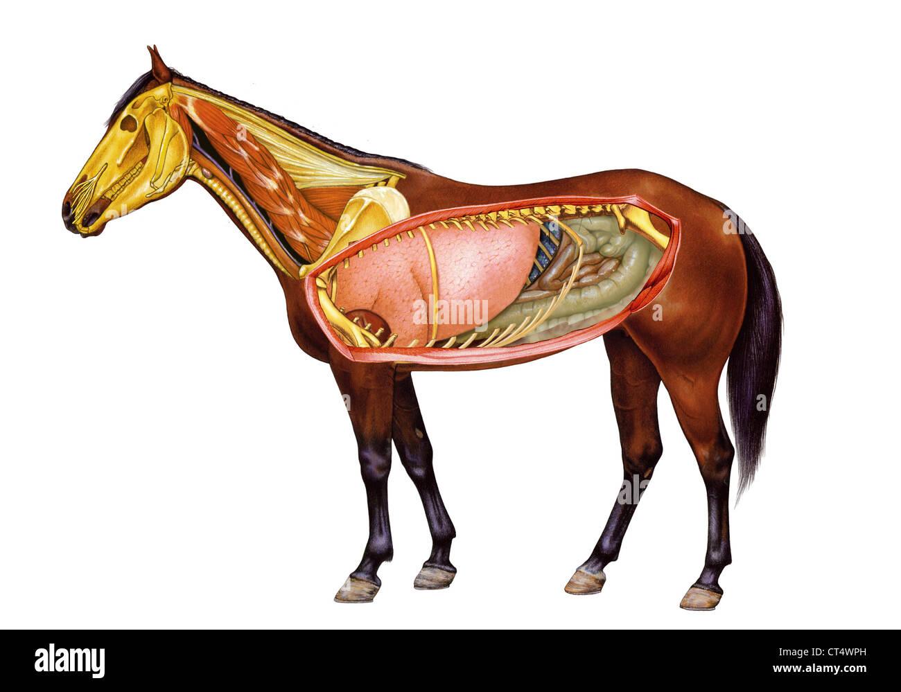 HORSE ANATOMY, DRAWING Stock Photo: 49280521 - Alamy