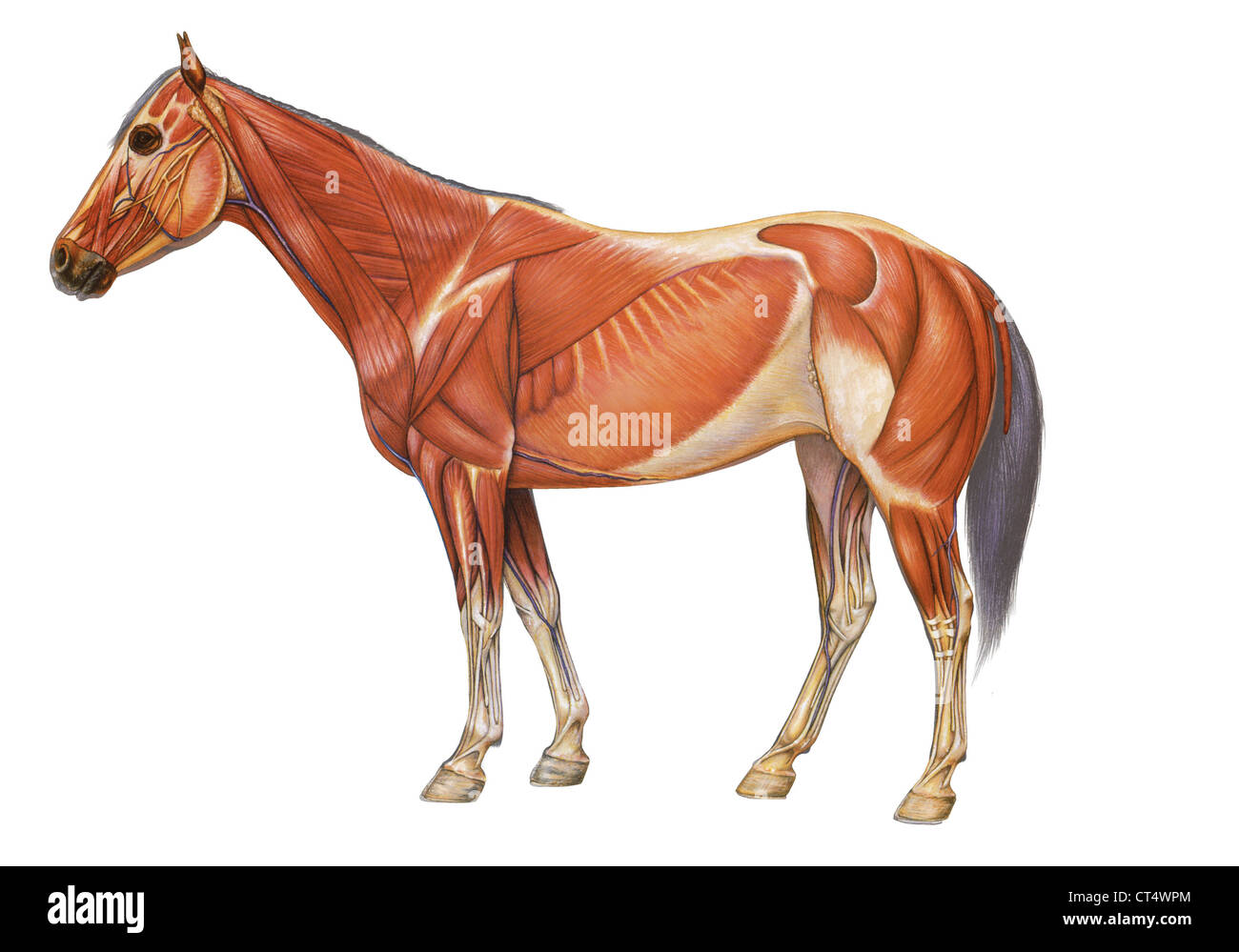 HORSE ANATOMY, DRAWING Stock Photo: 49280524 - Alamy