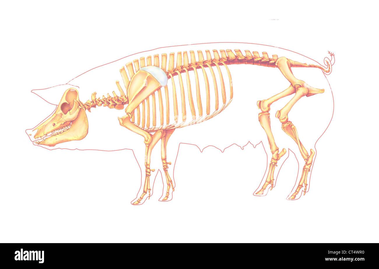 Pig Anatomy Stock Photos & Pig Anatomy Stock Images - Alamy