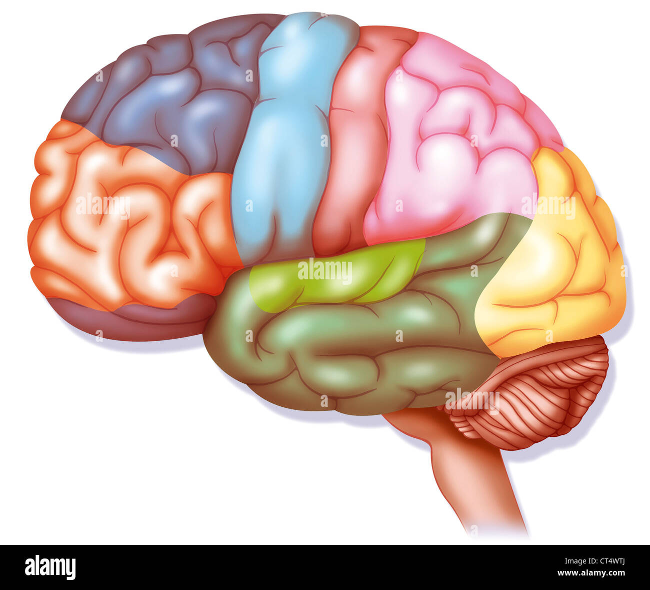 BRAIN, DRAWING - Stock Image