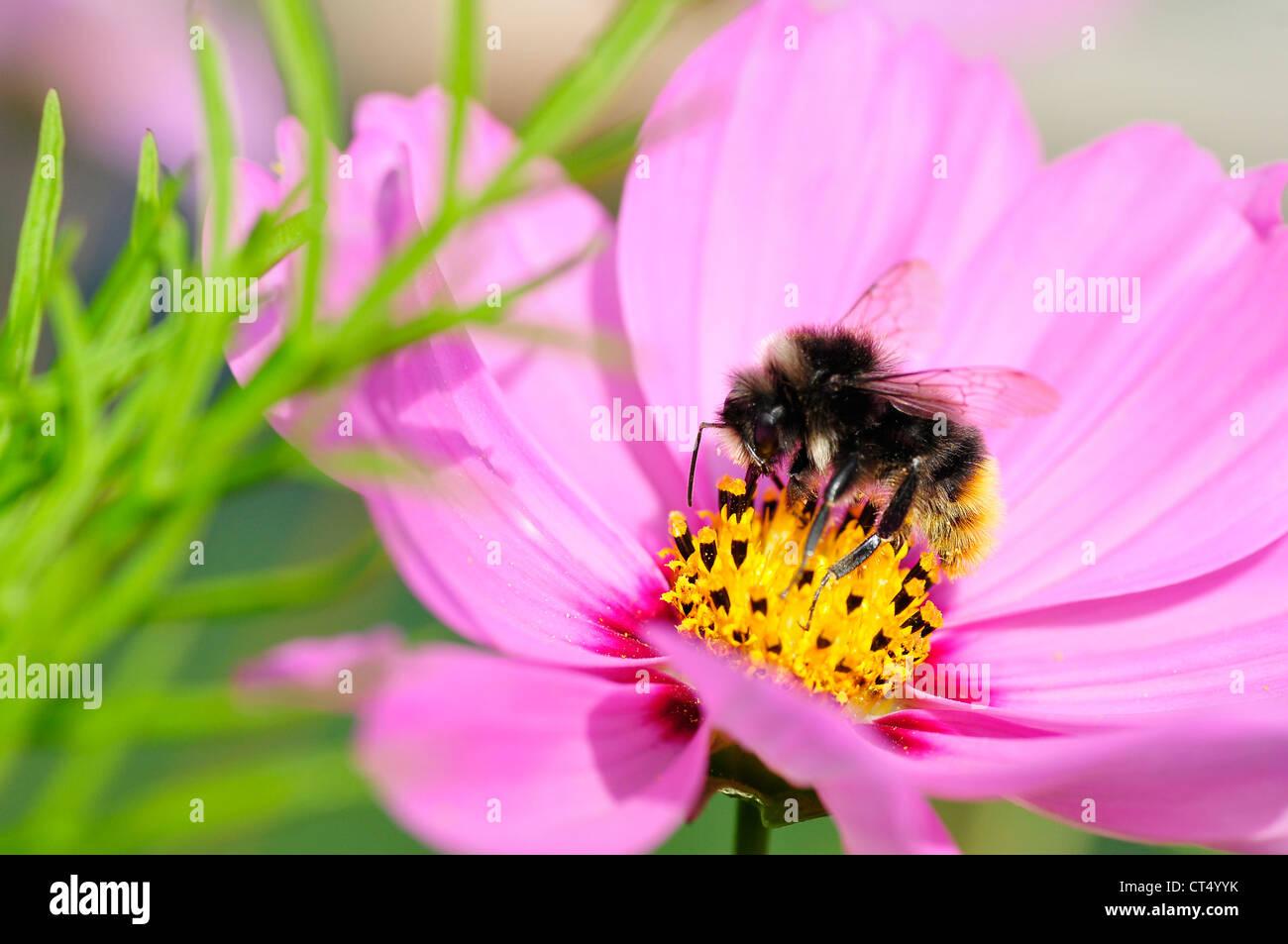 Macro of honey bee (Apis) feeding on pink cosmos flower - Stock Image
