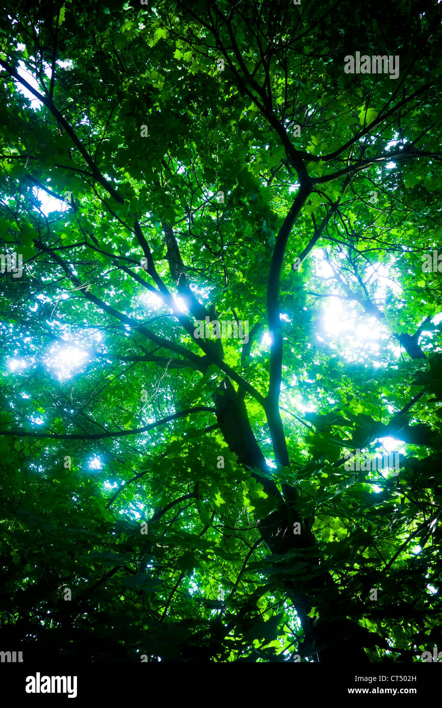 low angle view of tree branches and leaves, with an almost mystical light effect - Stock Image