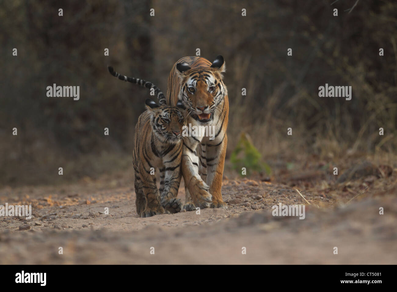Tiger cub with mother in Bandhavgarh National Park - Stock Image