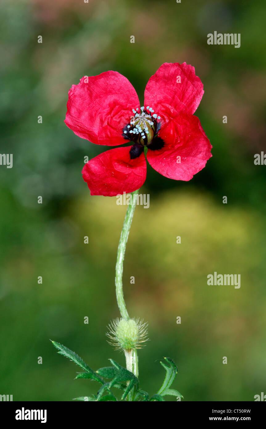ROUGH POPPY Papaver hybridum (Papaveraceae) Stock Photo