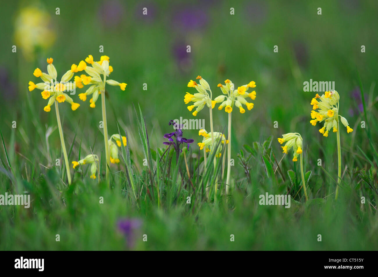 A field full of cowslips and green-winged orchids UK Stock Photo