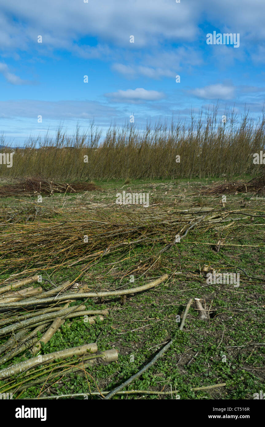 dh  BIOMASS UK Scotland Willow Biomass research crop Papdale field trial green crops fuel - Stock Image