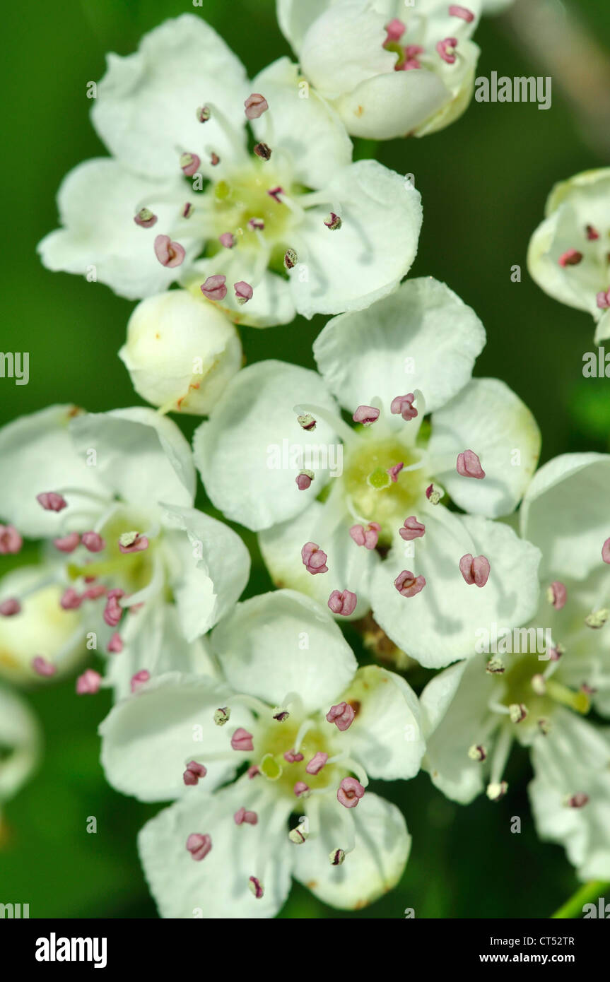 A close-up of beautiful hawthorn blossom UK - Stock Image