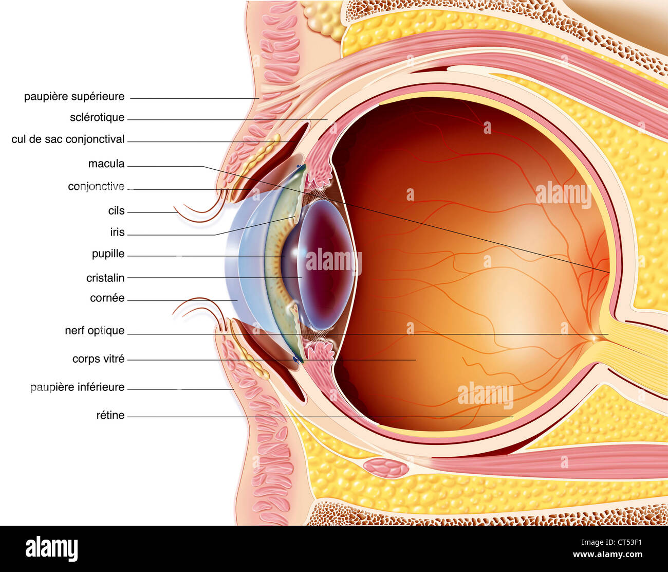 Eye Orbits Stock Photos & Eye Orbits Stock Images - Alamy