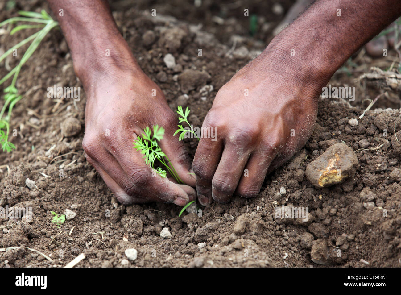 students planting carrots, school garden of the Sacred Heart High School in the mountain village of Tapini, Papua - Stock Image