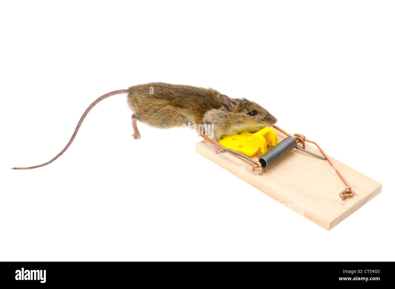 A house mouse (Mus Musculus) with its head caught in a mousetrap - studio shot with a white background Stock Photo