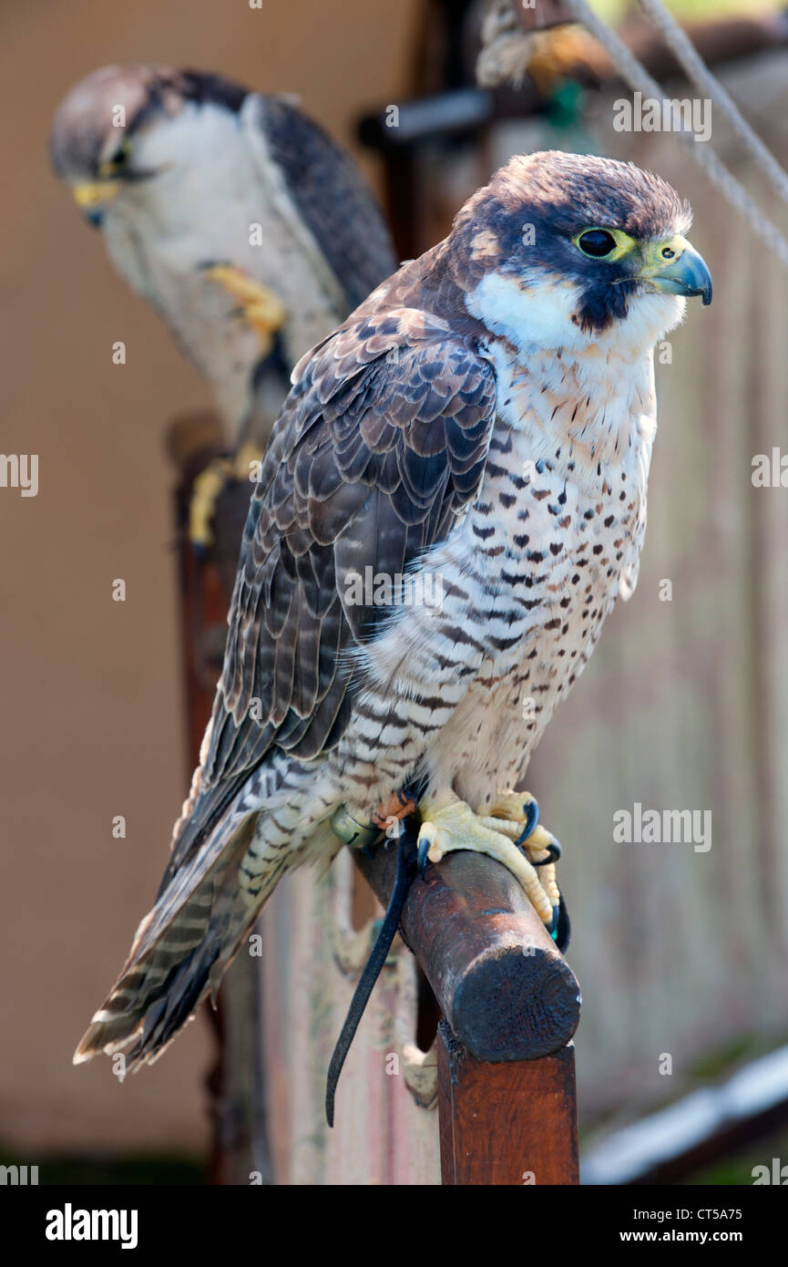 Falcons taking part in a falconry display, Chetwynd, Newport, Shropshire - Stock Image