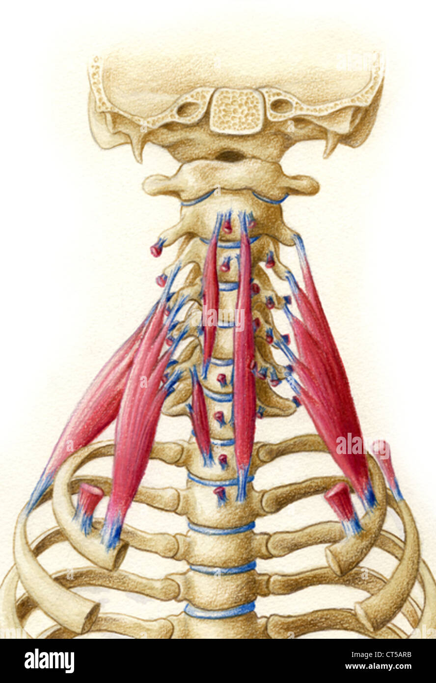 Normal Neck Bones Stock Photos Normal Neck Bones Stock Images Alamy