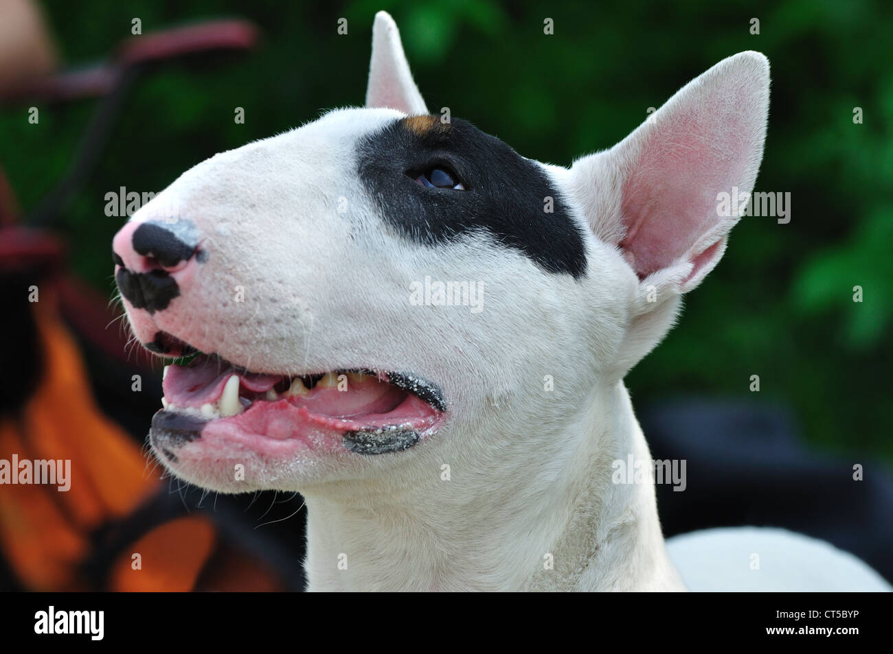 Portrait of bull terrier dog on the conformation show - Stock Image