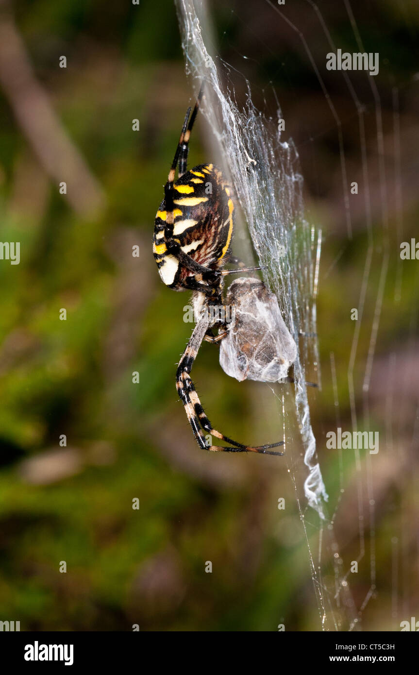 A wasp spider (Argiope bruennichi) with wrapped prey in its web at Crockford Bridge in the New Forest, Hampshire. - Stock Image