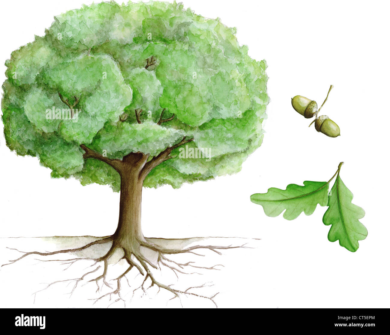 OAK TREE, ILLUSTRATION - Stock Image