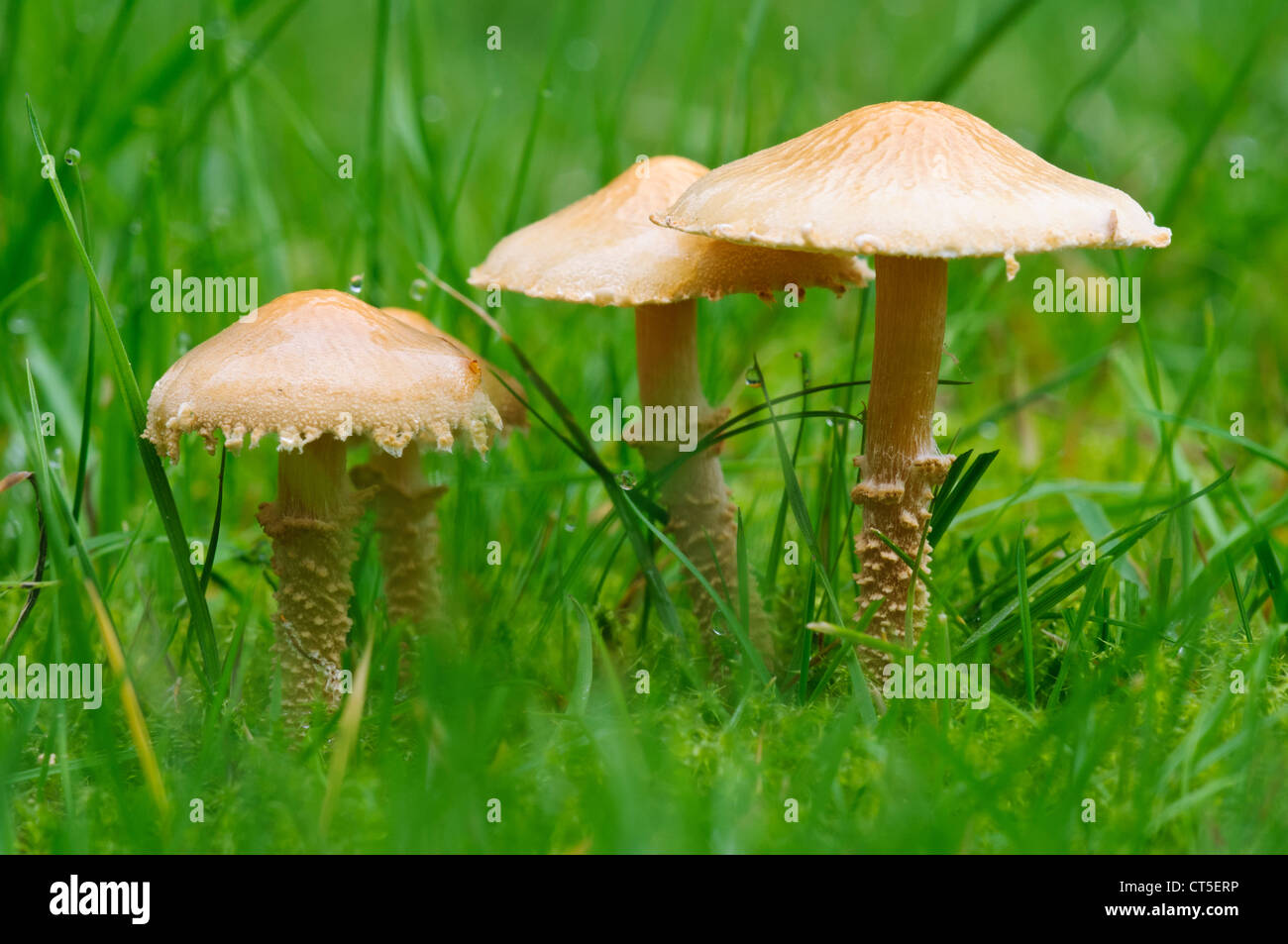 A group of earthy powdercaps (Cystoderma amianthinum) growing in grass at Clumber Park, Nottinghamshire. October. - Stock Image