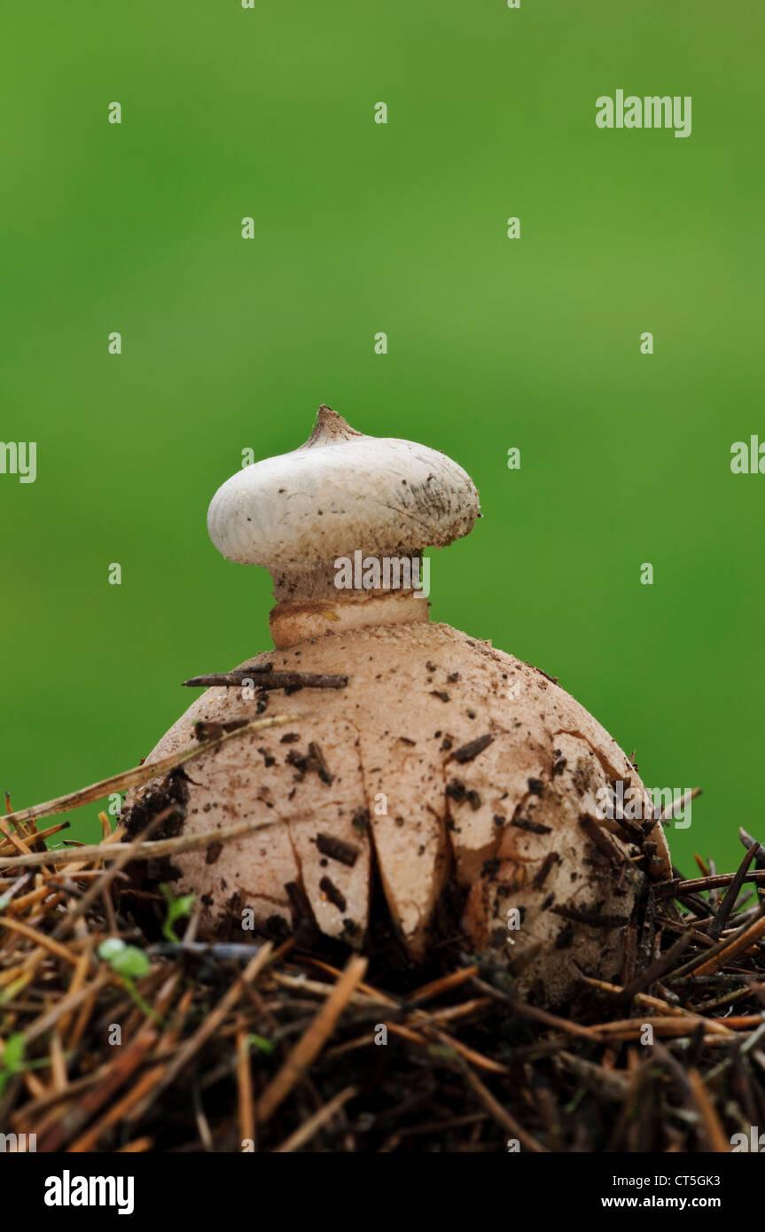 A striate earthstar fungus (Geastrum striatum) pushing through fallen pine needles in Clumber Park, Nottinghamshire. - Stock Image