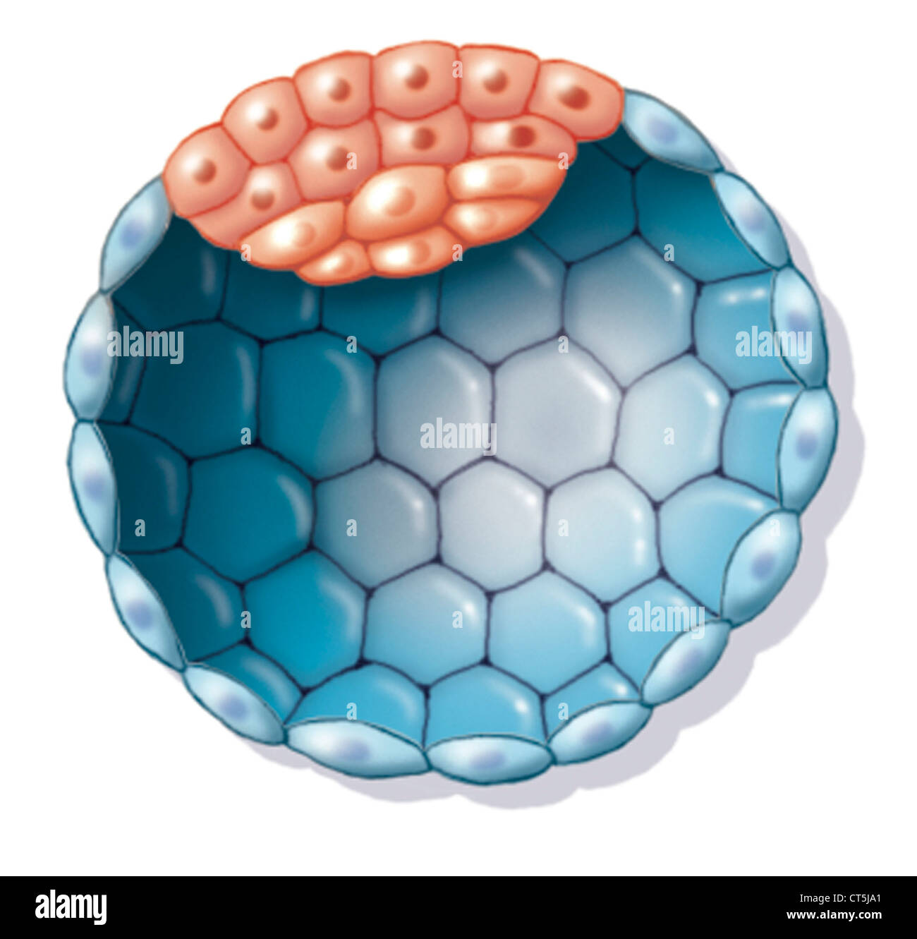 Human Blastocyst Stock Photo 49296633 Alamy