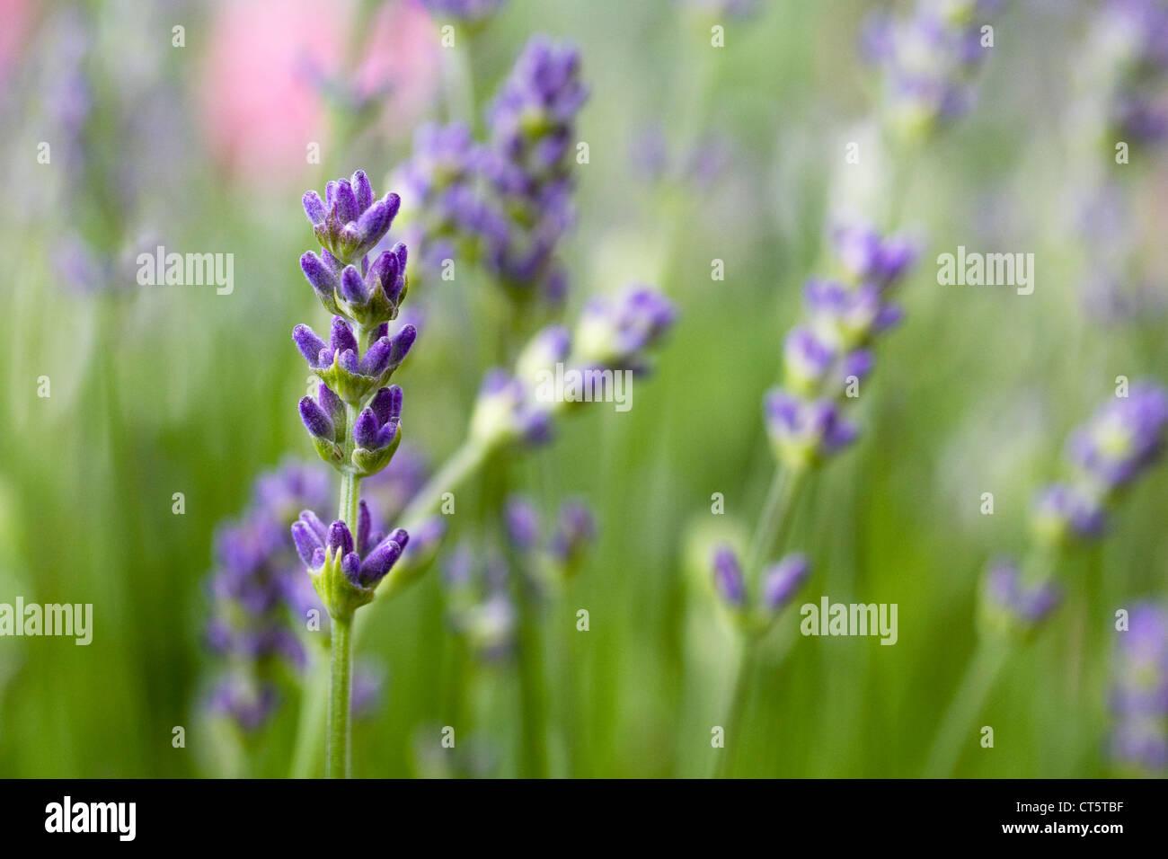 Lavender in an English garden. Lavandula flowers. - Stock Image