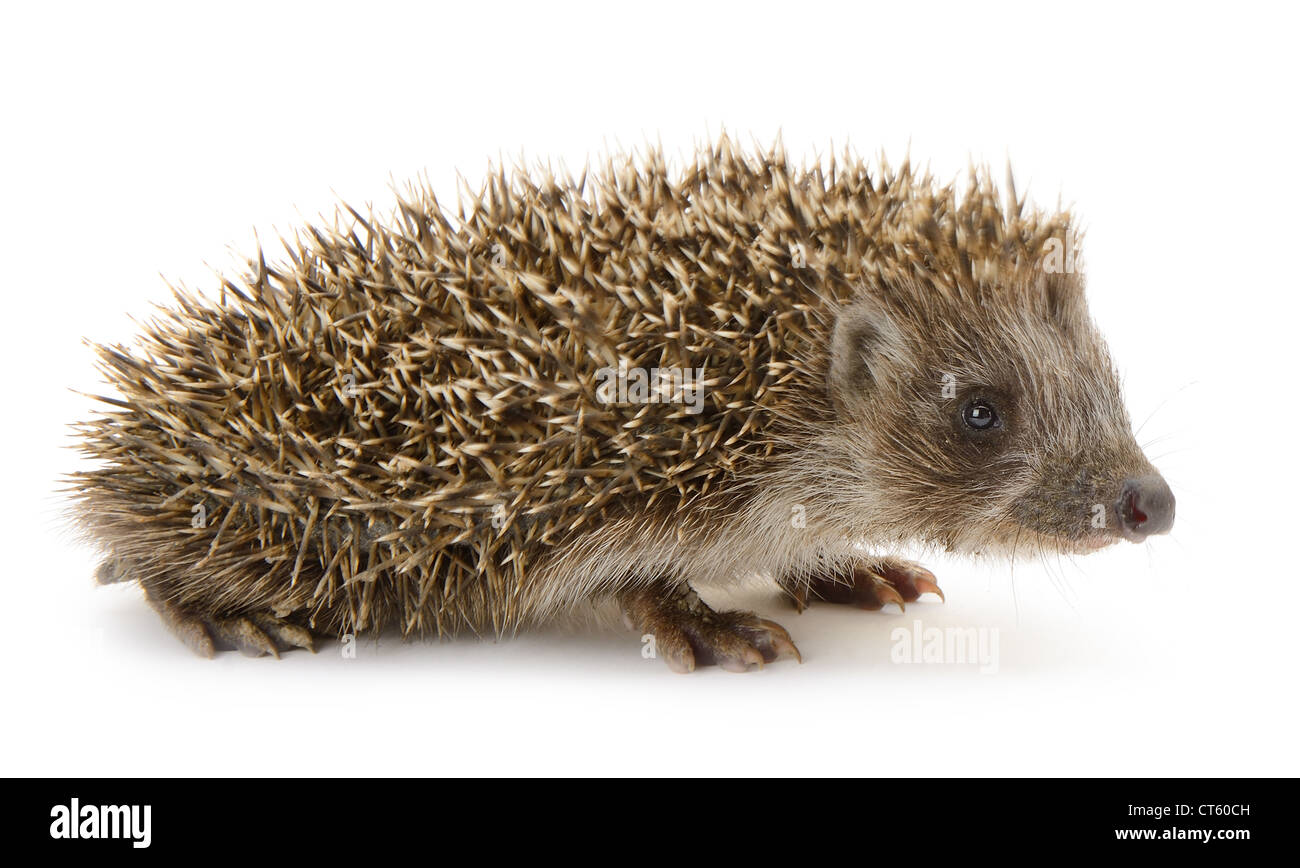 hedgehog isolated. Small mammal with spiny hairs on its back and sides - Stock Image