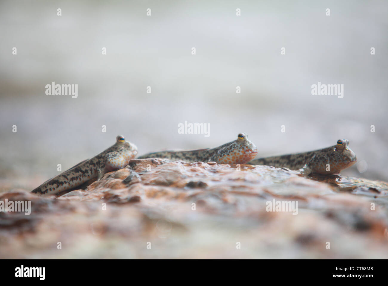 Mudskipper in a mangrove swamp on the coast of thailand - Stock Image