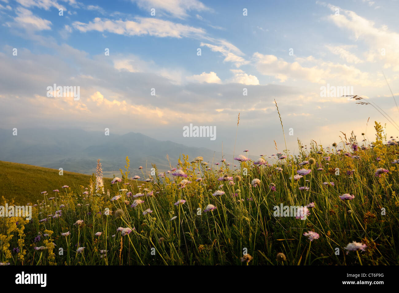 Meadow flowers at sunset. - Stock Image