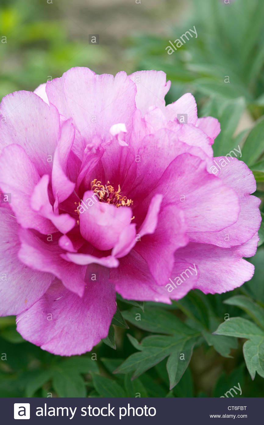 Paeonia Itoh hybrid 'First Arrival' - Stock Image