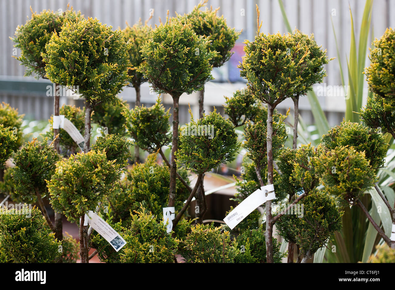 Young conifers (Cupressocyp. ley.'Castle Gold'), for sale in Garden Centre Scotland UK - Stock Image
