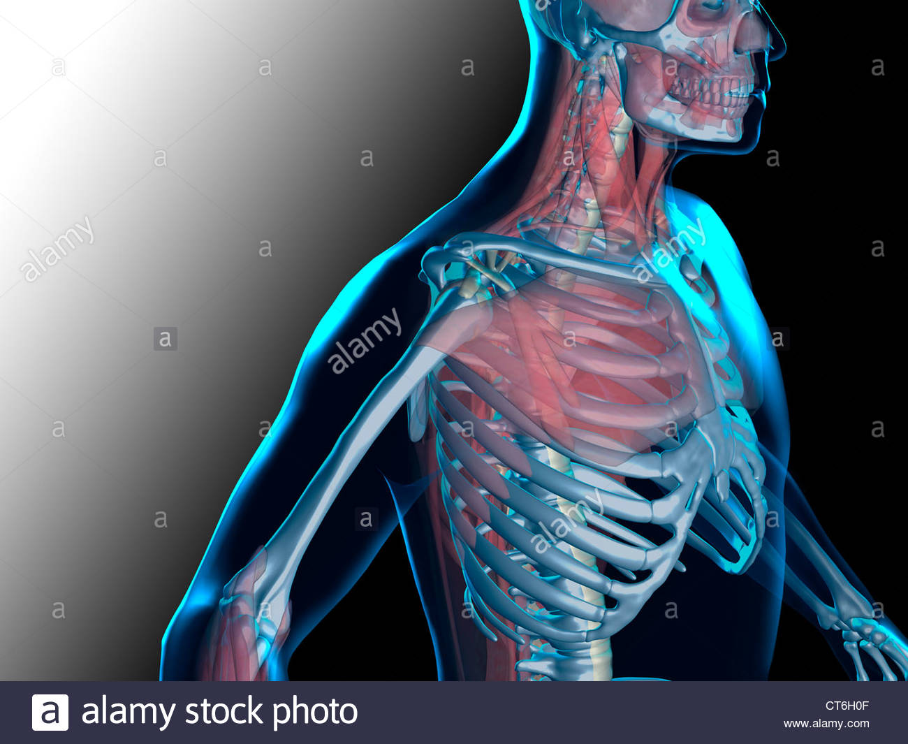 Bone Structure Of The Shoulder Stock Photos & Bone Structure Of The ...