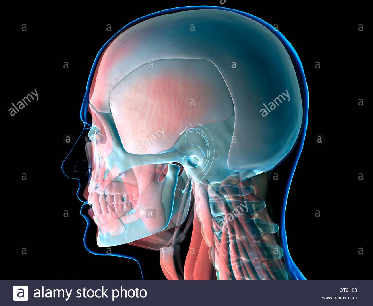Normal Neck Bones Stock Photos & Normal Neck Bones Stock Images - Alamy