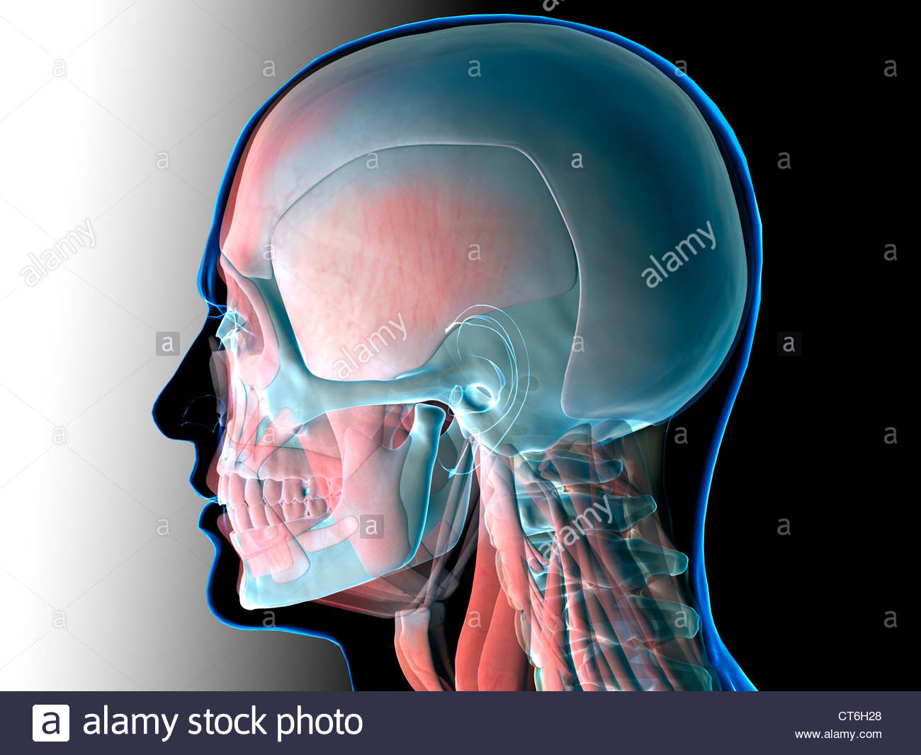 Human Head And Neck Anatomy Stock Photos Human Head And Neck