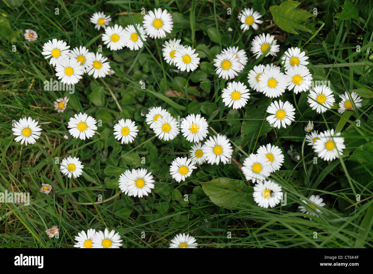 Flowering daisy (Bellis perennis) flowering in a garden lawn - Stock Image