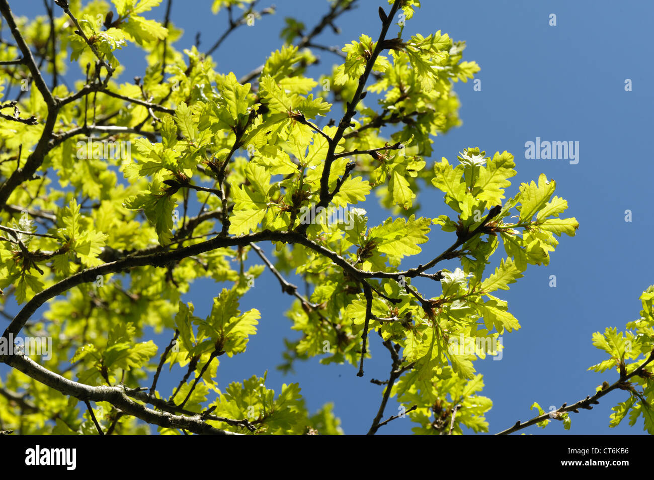 Young oak tree (Quercus robur) foliage backlit against against a blue spring sky Stock Photo